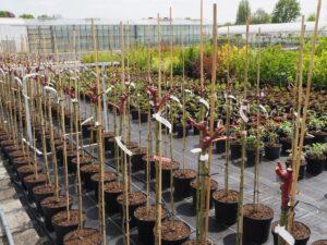 Veredelte Rosen Hochstämmchen vor dem Austrieb