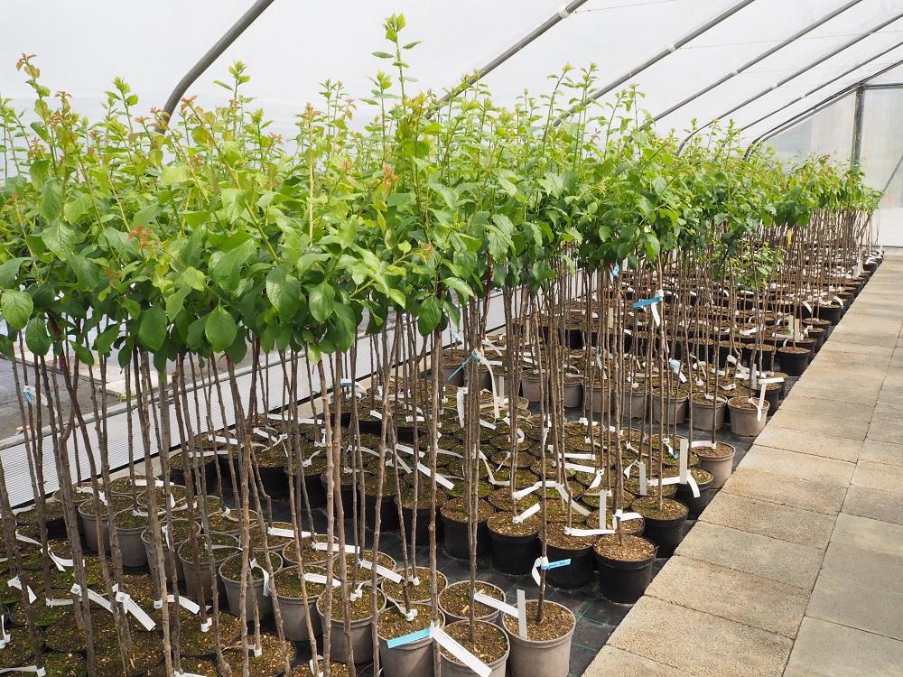 Anzucht von Obstbäumen in BIO Qualität